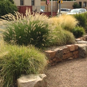 Grasses on our medial get cut back once a year in early march to about six inches, except for the flowing thread grass.