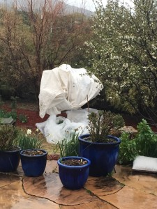 Frost cloth wrapped around peach tree, just might have done the job!