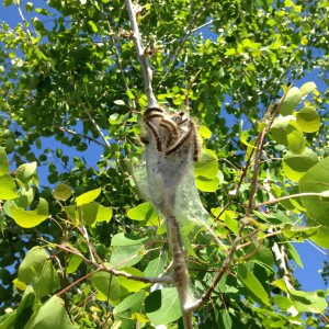 Y blog tent caterpillar